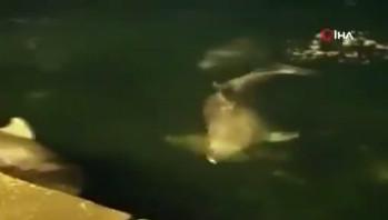 Ortaköy sahilinde sürpriz görüntüler! Yunusların dansı kamerada