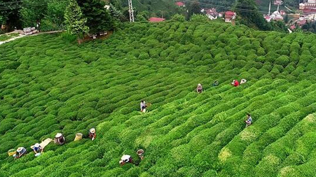 İçişleri Bakanlığı'ndan çay üreticilerinin seyahat izni ile ilgili genelge