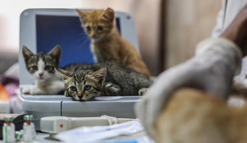 Korkutan ayrıntı: 6 kedi semptom göstermeden virüs bulaştırdı