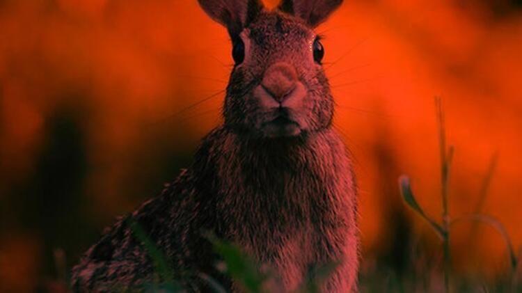 Yeni bir ölümcül virüs korkusu! Bu kez de tavşan virüsü!