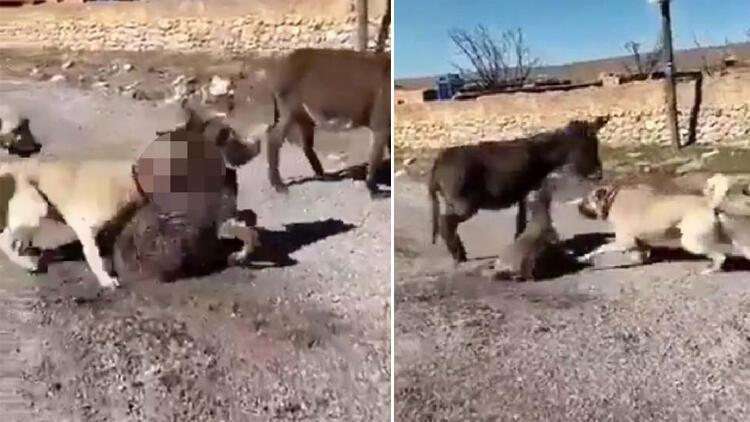 Köpeklerini sıpaya saldırtan psikopat serbest bırakıldı