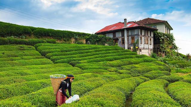 Rize'de kaçak çay skandalı! TIR devrilince ortaya çıktı