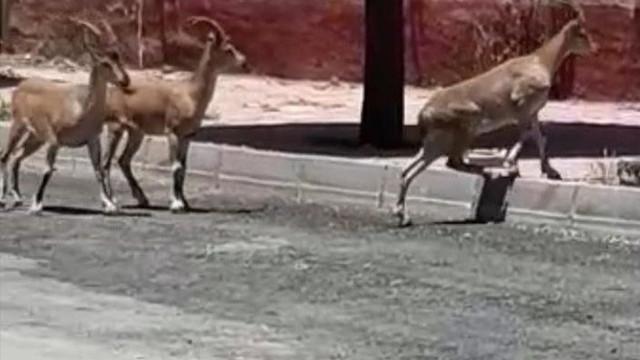 Elazığ'da şoke eden görüntüler! Dağ keçileri sokaklara indi