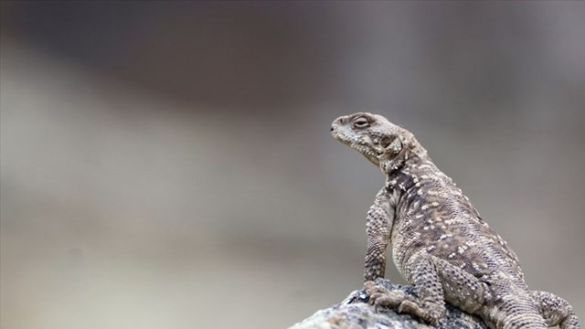 Doğada en zor görülebilen sürüngen türü! Iğdır'da görüntülendi