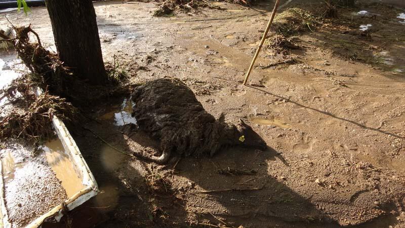 Van'da sel felaketi! 75 koyun sele kapılarak telef oldu