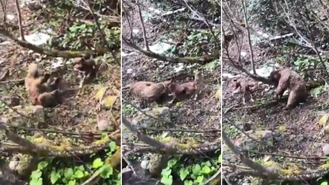 Artvin'de yavru ayıyı vuran ve köpekleri üzerine salan şahıs yakalandı