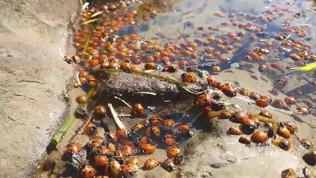 Gökçeada'da korkutan toplu uğur böceği ölümleri