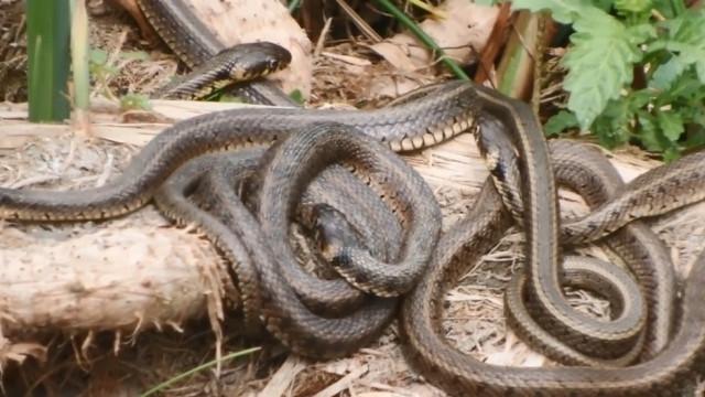 Uluabat Gölü'nde yılan tedirginliği! Depremin habercisi mi?