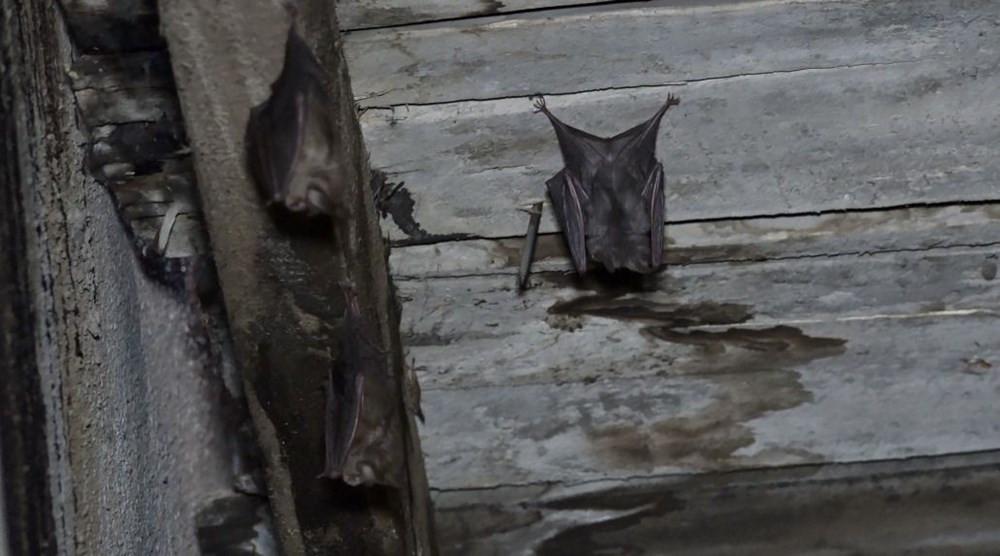 Çatıya yuva yapan yarasalar, kabusları oldu