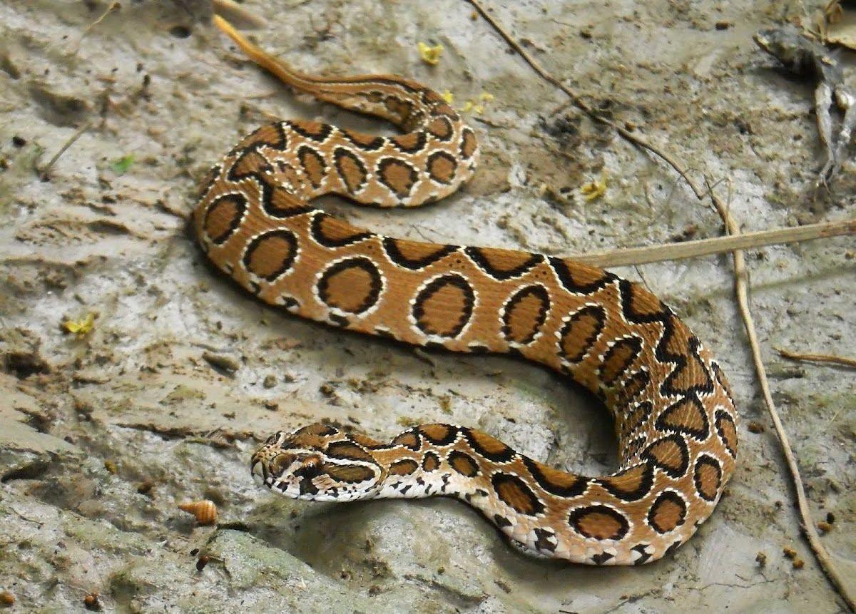 Çift başlı yılan görenleri hayrete düşürdü