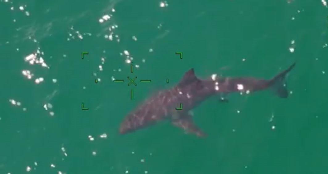 Sahilde köpekbalığı paniği! Dev canavar böyle görüntülendi