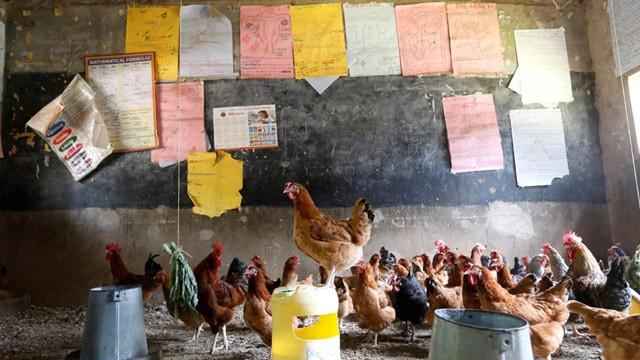 Kenya'da pandemi nedeniyle kapatılan okullarda tavuk yetiştiriliyor