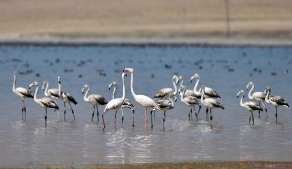 Flamingolar Bitlis'teki Arin Gölü'nü renklendirdi