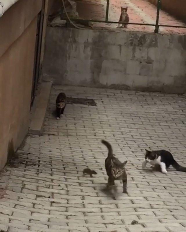 Küçük fare 5 kediye kafa tuttu