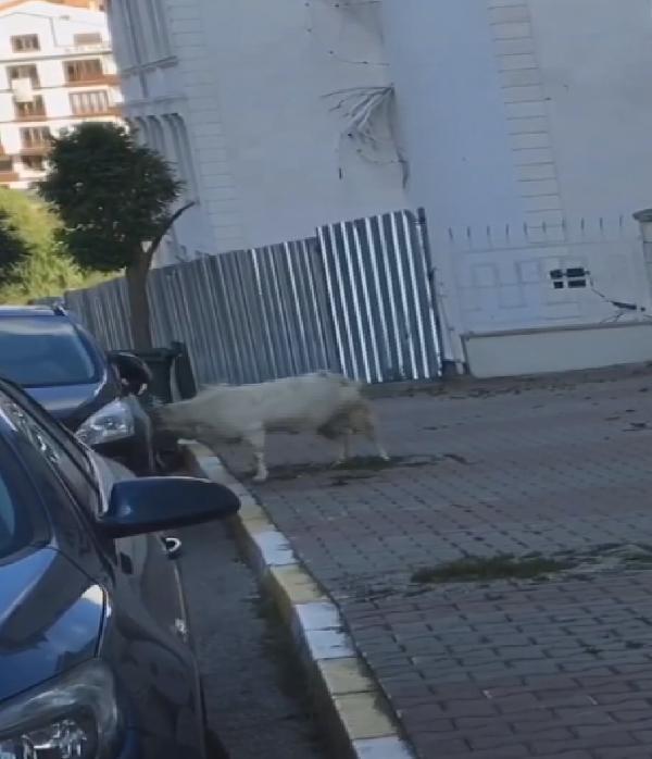 İstanbul'da ilginç anlar! Otomobile saldıran keçi kamerada