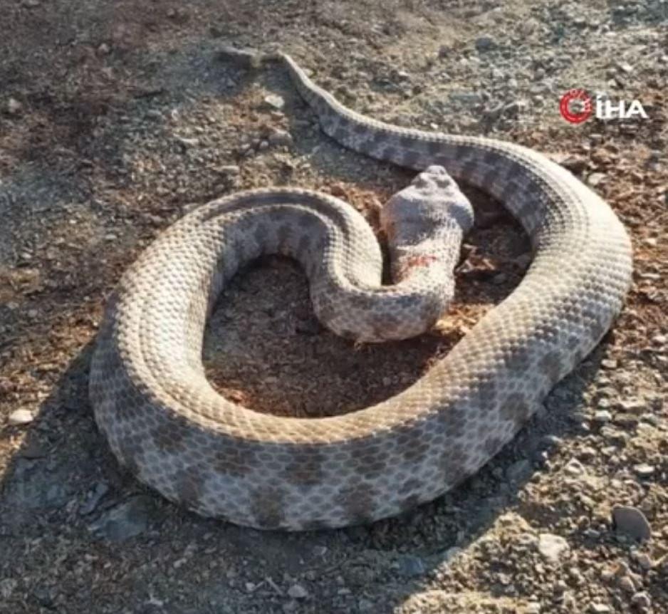 En zehirli yılan türlerinden! Kendisine saldırınca boğazından yakaladı