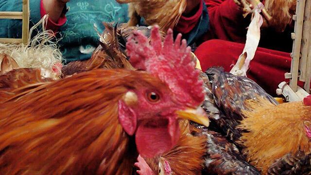 O ülkede kuş gribi nedeniyle 2 ayda 22 milyon kümes hayvanı itlaf edildi