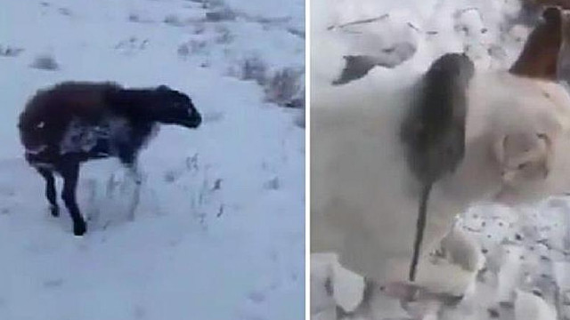 Öldürücü soğukta ısınmak isteyen fare köpeğin boynunda dondu