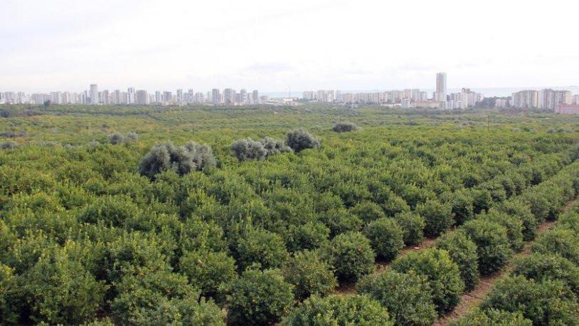 Binlerce ağaç daha ''rant'' kurbanı olacak!