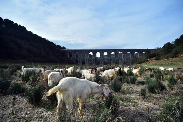 İstanbul barajları koyunlara otlak oldu!