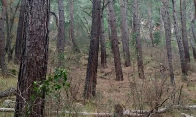 Asırlık ağaçları kökünden söktüler