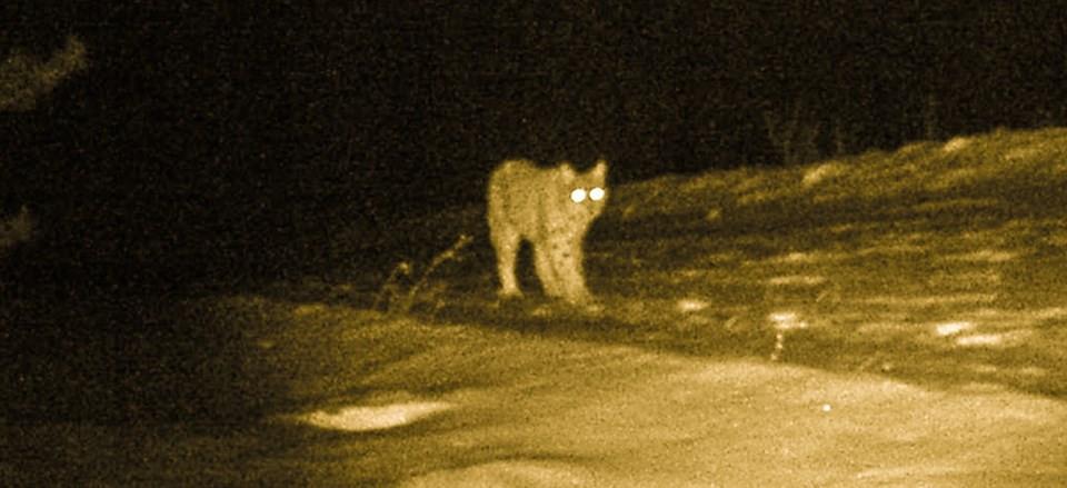 Ormanın hayaleti fotokapana yakalandı