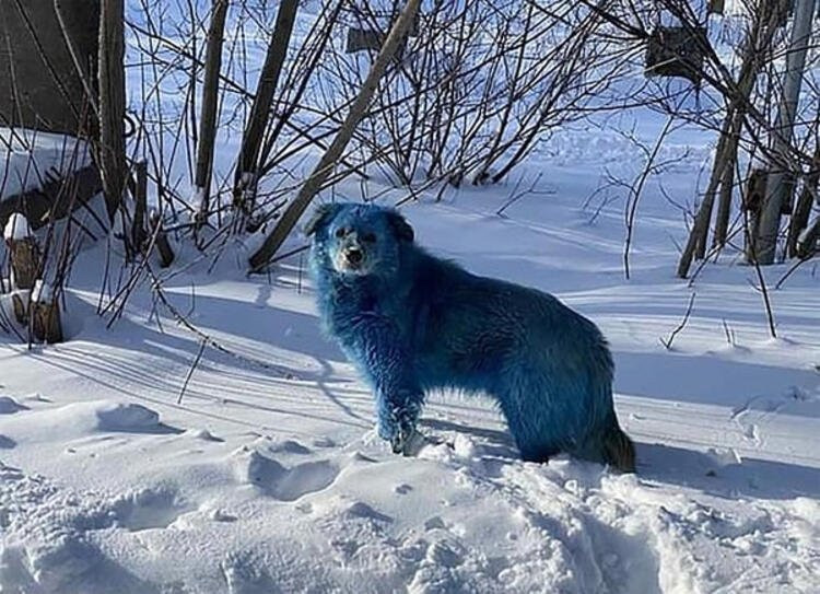Köpeklerin rengi maviye döndü! Gören inanamadı! - Resim: 1