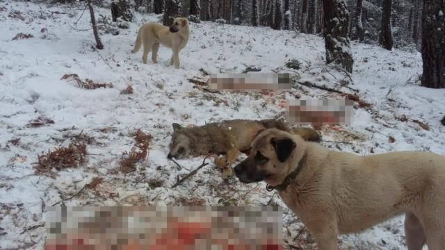 Koyunlara saldıran kurt, kangallar tarafından telef edildi