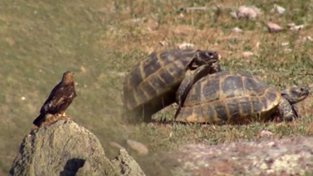 Kartal, çiftleşen kaplumbağaları görünce...
