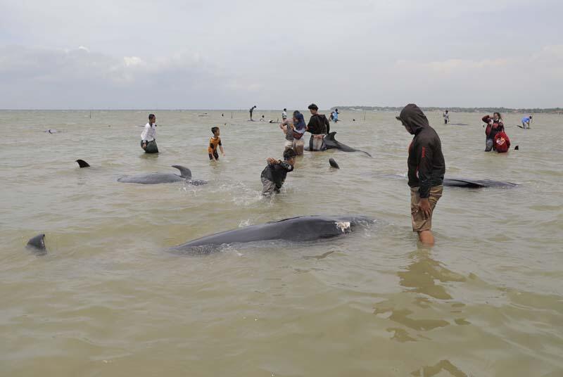 Endonezya'da 46 balina kıyıya vurdu