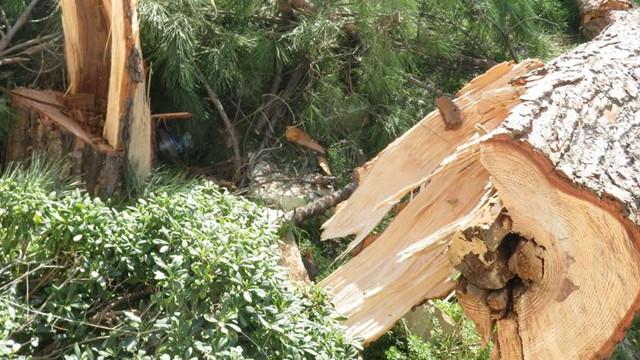 Kadıköy'de fıstık çamı ağacının kesilmesi tepki topladı