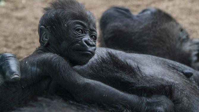 Dünyada bir ilk! Goriller Covid-19 aşısı oldu