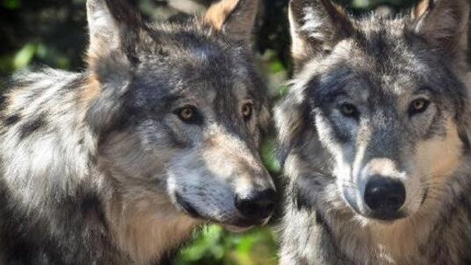 ABB'de 60 saatte 216 kurt öldürüldü