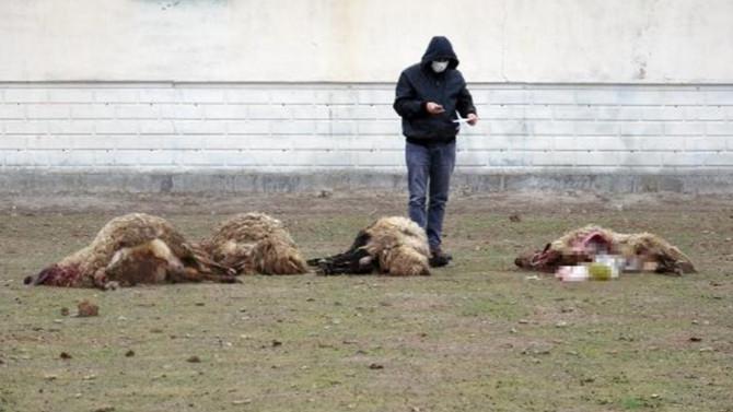 Arazide otlattığı koyunlar titreyerek telef oldu