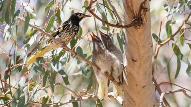 Dünyada sadece 300 tane kaldı! Bir kuş türü daha yok oluyor