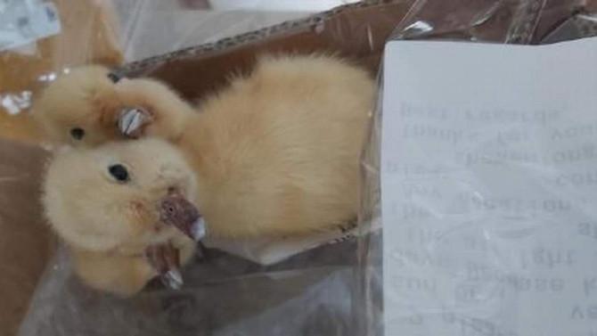 Kargo paketinden 3 kafalı doldurulmuş ördek yavrusu çıktı!