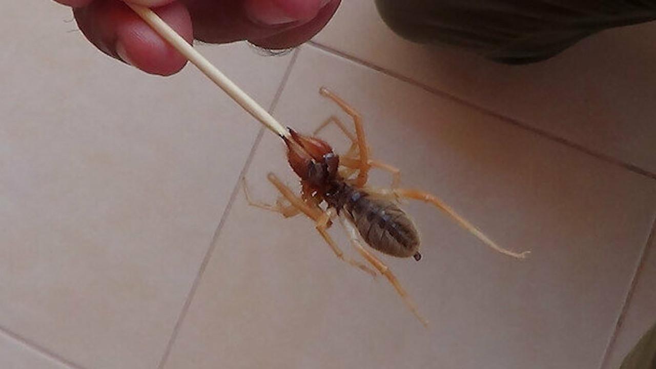 Sel felaketi, fare istilası derken... Şimdi de zehirli örümcek alarmı!