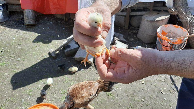 Yumurtadan çıkan civciv görenleri herkesi şaşırttı - Resim: 3