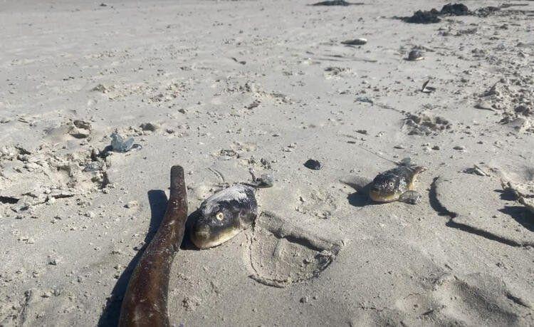 Bizim denizlerimizi de istila eden ''canavar'' sahile vurdu! - Resim: 3