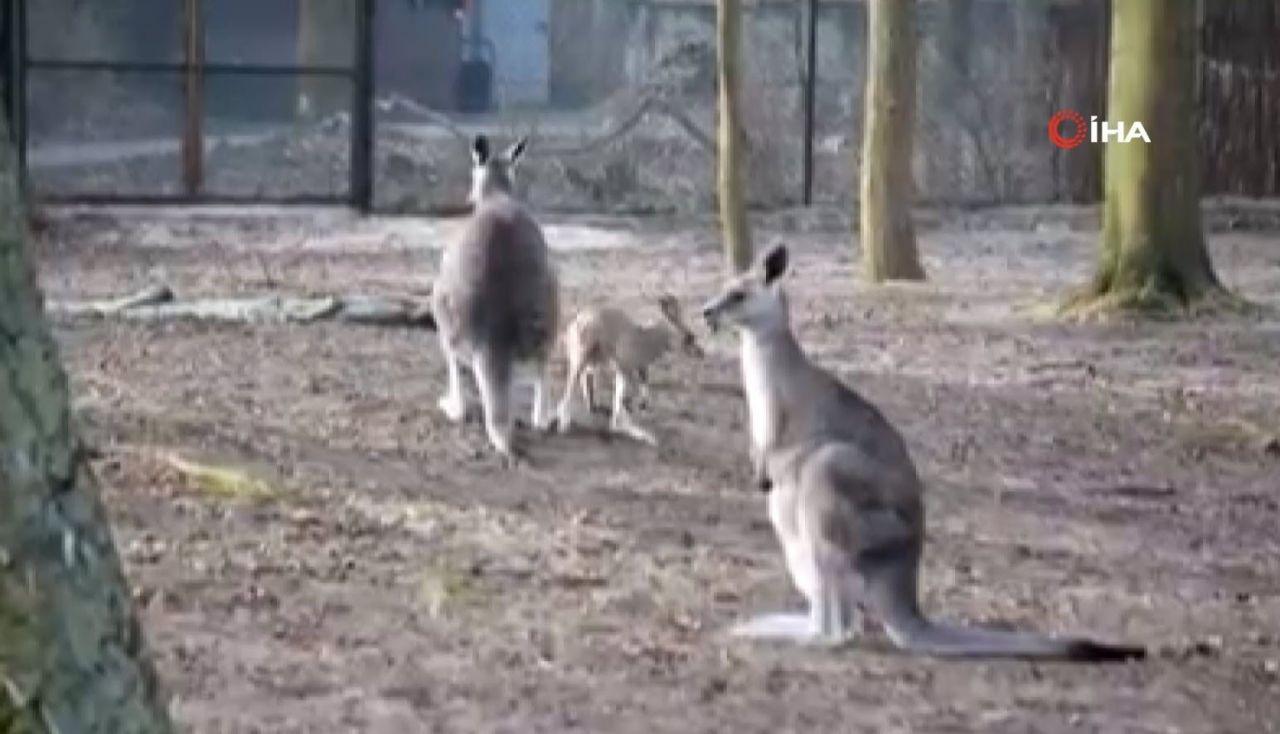 Minik kangurunun ilk adımları olay oldu - Resim: 3