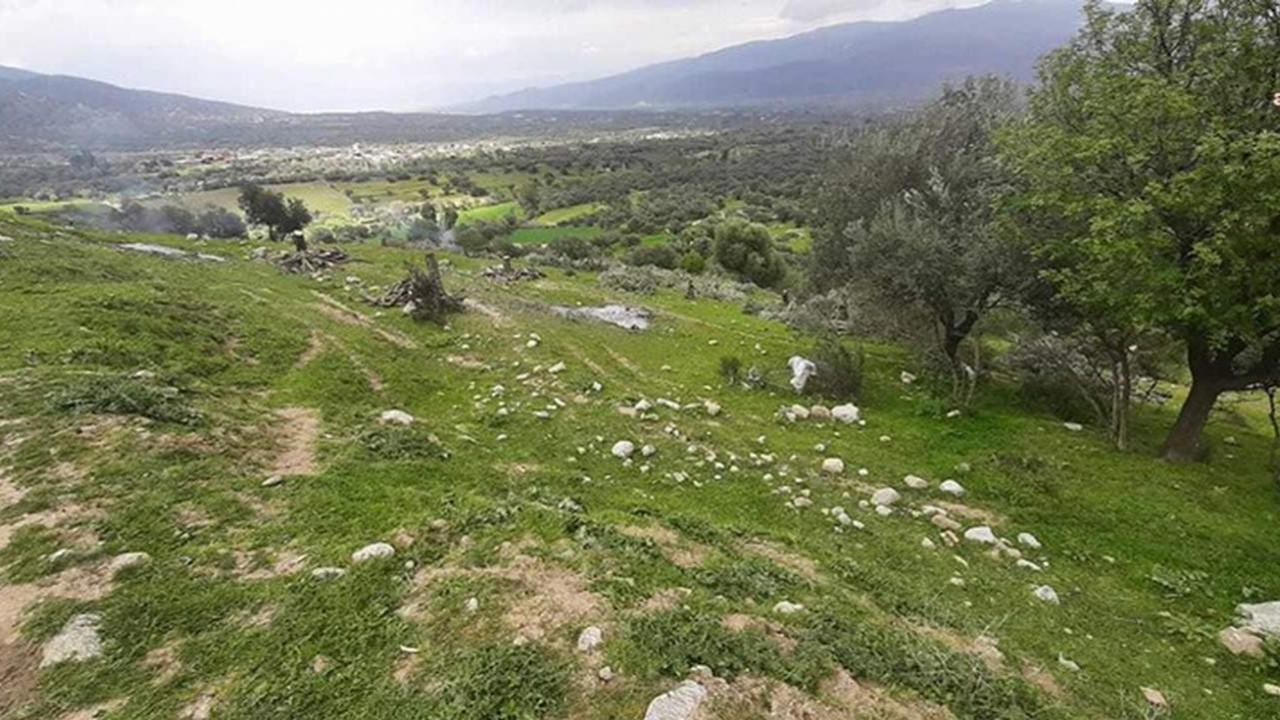 AK Partili belediye 200 zeytin ağacını söktü