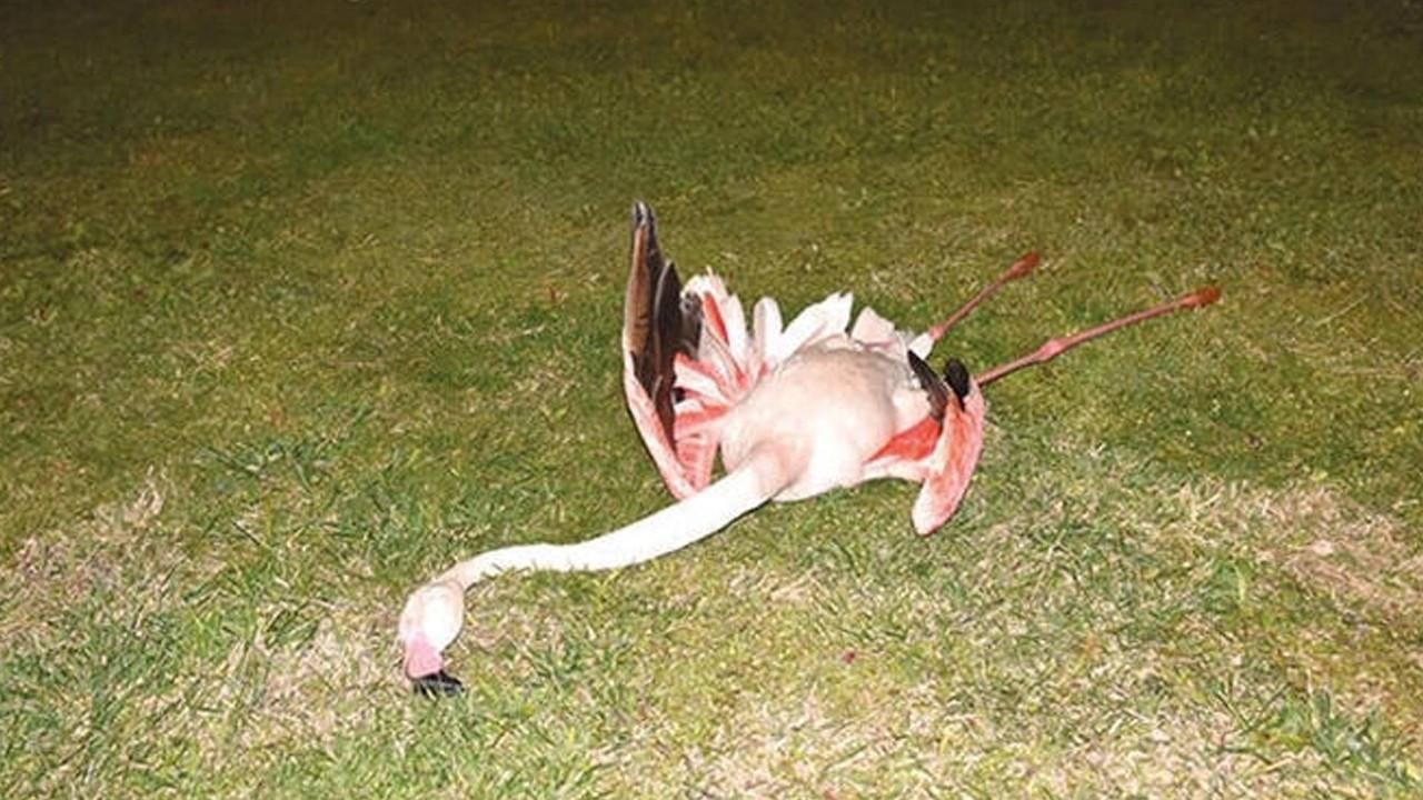 9 flamingonun ölüm nedeni belli oldu