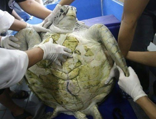 Kaplumbağanın karnından çıkanlar şoke etti - Resim: 1
