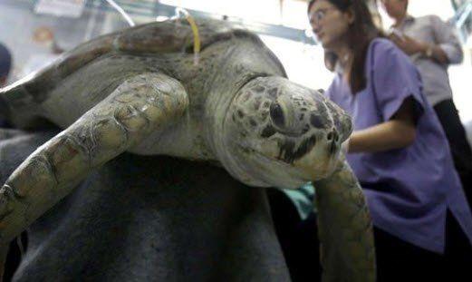 Kaplumbağanın karnından çıkanlar şoke etti - Resim: 2