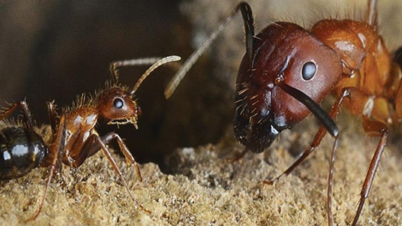 Beyninin boyutunu ayarlayabilen ilk böcek türü keşfedildi