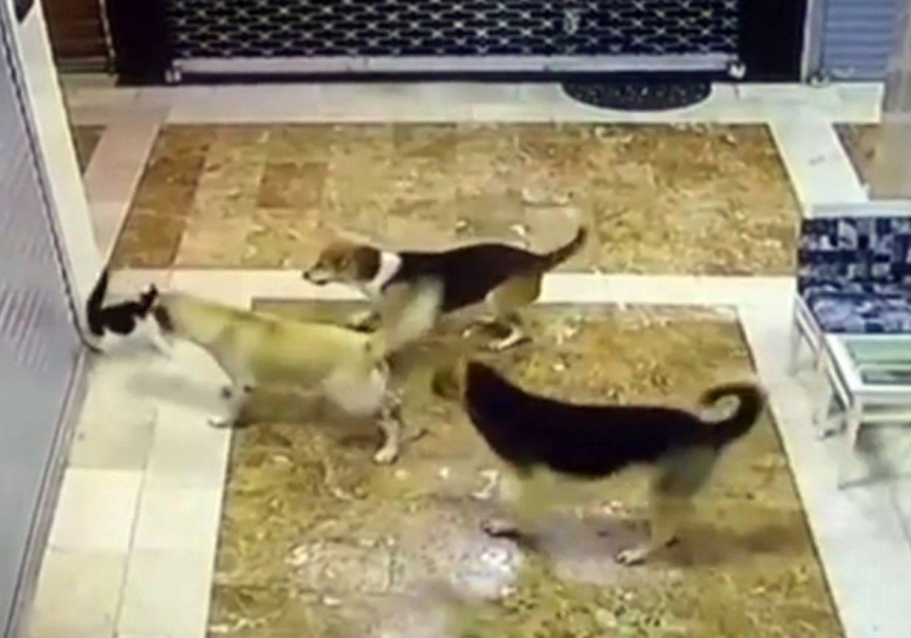 Anne kedi yavrusuna saldıran 3 köpeği pişman etti - Resim: 3