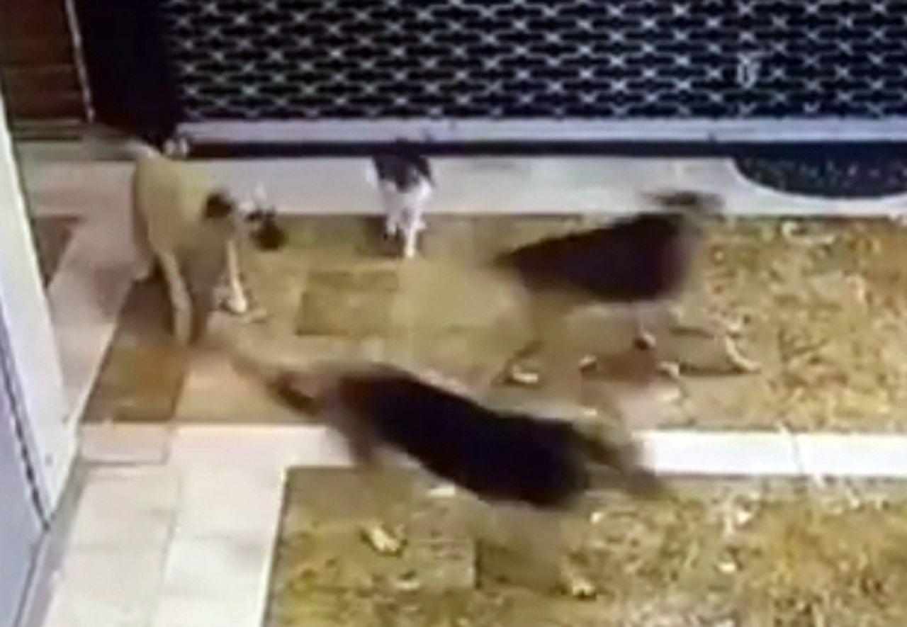 Anne kedi yavrusuna saldıran 3 köpeği pişman etti - Resim: 4