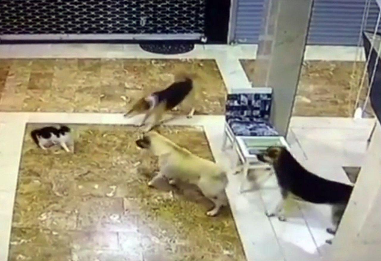 Anne kedi yavrusuna saldıran 3 köpeği pişman etti - Resim: 1