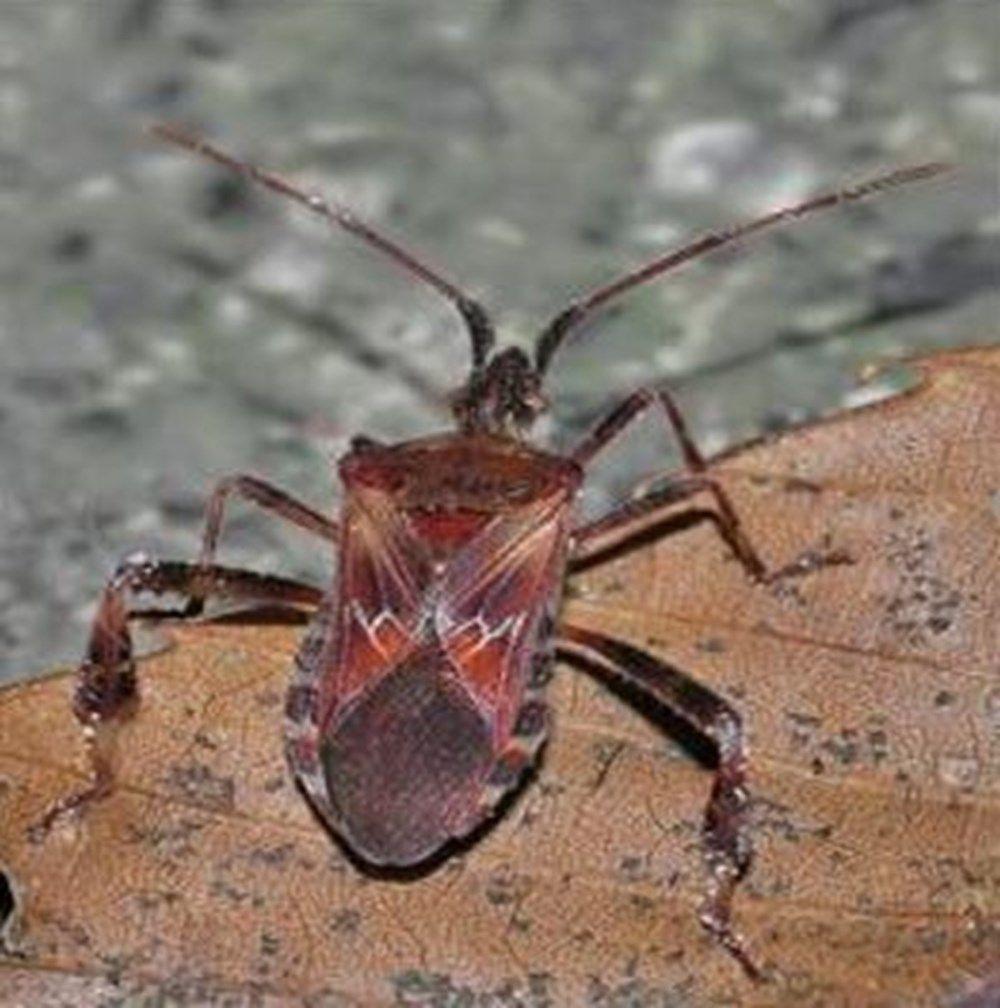 Kuzey Amerika kökenli istilacı böcek, Doğa Anadolu'da görüldü - Resim: 1