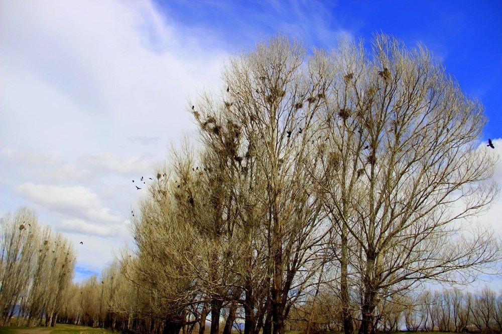 İstilacı kargalar, köylülerin kabusu oldu - Resim: 4